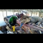 duck29